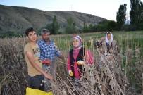 HAŞHAŞ - Afyonkarahisar'da Haşhaş Hasadı Erken Başladı