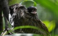 ZÜRIH - (Özel) Bursa'nın Sakallı Maymunları Yavruladı