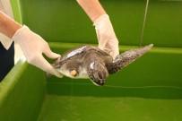 DENİZ KAPLUMBAĞALARI - Hatay MKÜ Veterinerlik Fakültesi Deniz Kaplumbağalarına Şifa Dağıtıyor