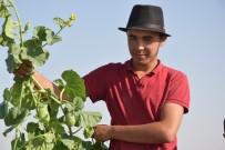 KAZANCı - (Özel) Şanlıurfa'da Şelengo Hasadı Başladı