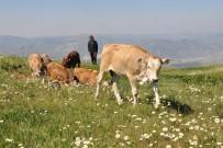 SÖZLEŞMELİ - Gümüşhane'de Büyükbaş Hayvan Sayısı Son 20 Yılın Zirvesinde