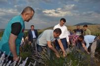 KÜLTÜR MANTARı - Türkiye'nin En Büyük Lavanta Bahçesinde Hasat Zamanı