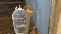 MUHABBET KUŞU - Sincabı, Kedisi, Güvercini Bir Arada Yaşıyor