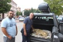 BAŞKÖY - Boz Ayının Saldırısına Uğrayan Köpek Bursa'ya Götürüldü