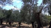 EDREMİT KÖRFEZİ - Edremit Körfezi'nde Zeytin Sineğiyle Mücadele