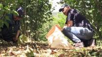 AŞIRI YAĞIŞ - Fındık Üreticisi Sel Sonrası Yeniden Bahçelerde