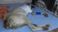 MUSTAFA KEMAL ÜNIVERSITESI - (Özel) Kuyruğu Kesilmiş Halde Bulunan Köpeğin Ayağı Tamamen Kesildi