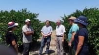 KARANTINA - Aydın'da, Akdeniz Meyve Sineği'ne Karşı Önlemler Arttırıldı