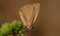SıRADıŞı - Gümüşhane Kelebeklerine Yeni Bir Tür Daha Eklendi