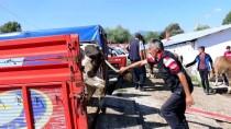 Mudurnu'da Kurbanlıklar Satışa Çıktı