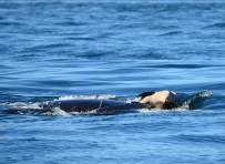 VANCOUVER - Katil Balina Ölü Yavrusunu 17 Gün Sonra Doğurdu
