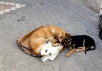 ŞAHIT - Kedi İle Köpeğin Örnek Dostluğu
