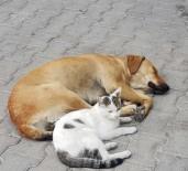 ŞAHIT - (Özel) Kedi İle Köpeğin Dostluğu Görenleri Hayrete Düşürüyor