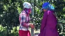 KARNABAHAR - Tarımda 'Ekmek Kapısı' Köy