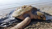 DENİZ KAPLUMBAĞALARI - 70 Yaşındaki Dev Deniz Canlısı Son Anda Kurtarıldı