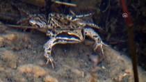 Bolkarlar'ın Sessiz Sakini 'Toros Kurbağası'