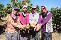TARıM - Mersin'de Antepfıstığı Hasadı Yüzleri Güldürüyor