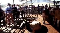 BÜYÜKBAŞ HAYVAN - Tekirdağ'da Düve Dağıtım Töreni