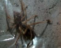 AKREP - Türkiye'de Et Yiyen Örümcek Var Mı ?