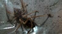 AKREP - Türkiye'de Et Yiyen Örümcek Yok