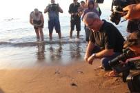 ULUPıNAR - Caretta Carettalar Denizle Buluştu