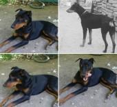 DOBERMAN - Köpeğini Bulana 7 Bin TL Ödül Verecek