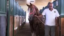 TARıM İŞLETMELERI GENEL MÜDÜRLÜĞÜ - Milyonluk Atların Fedakar Bakıcısı 'Oktay Çavuş'