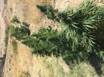 Çankırı'da 109 Kök Kenevir Bitkisi Ele Geçirildi