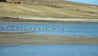 Flamingolar Beslenmek İçin Yozgat'taki Gelingüllü Barajı'na Geldi