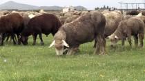 'İle De France' Koyunu Kars'ı Sevdi