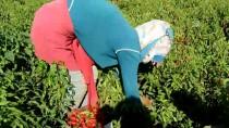 KIRMIZI BİBER - 'İslahiye Biberi'nde Hasat Başladı