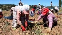 YEŞILDERE - Çiftçiler Patatesin Fiyatından Memnun