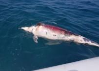 YUNUS BALIĞI - 2 Metre Boyunda, 350 Kiloluk Yunus Balığını Ateş Edip Öldürdüler