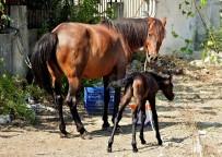 ALAÇATı - Çeşmeli Hayvanseverin Sahiplendiği Terkedilmiş Hamile At Doğurdu