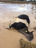DÖĞER - Selde Telef Olan Hayvanlar Sular Çekilince Ortaya Çıktı