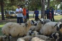 ALI AKÇA - Kaçan Kurbanlık Koyunlar 'Sahibiyim' Diyene Yediemin Olarak Verildi