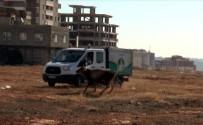 HAYVANAT BAHÇESİ - Gaziantep'te Sahibinin Elinden Kaçan 17 Dana Yakalandı