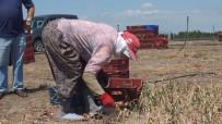 Bandırma'da Soğan Hasadı Başladı