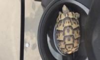 EZİLME TEHLİKESİ - Küçük Kaplumbağayı Ezilmekten Kurtarıp Doğaya Bıraktı