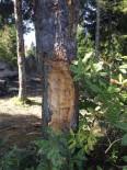 İNSANOĞLU - Ordu Yaylalarında Çıra İçin Ağaç Katliamı