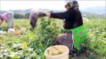 SALUR - Turşuluk Salatalık Üreticinin Yüzünü Güldürüyor