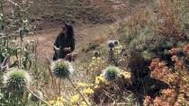Bitki Florası Ve Arıcılık İçin Dağ Bayır Geziyor
