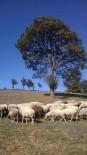 Biga'da Meradan Koyunlar Çalındı