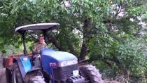 İki Asırlık Ceviz Ağacı Yılda Yarım Ton Ürün Veriyor