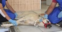 Otomobilin Çarparak Belini Kırdığı Köpek Tedavi Altına Alındı