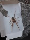 AKREP - Sınır'da Sarıkız Örümceği Paniği