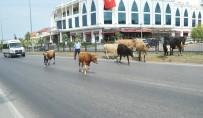 BÜYÜKBAŞ HAYVANLAR - Karayolunda Başıboş Hayvanlar Trafiği Tehlikeye Düşürdü