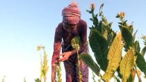 MUSTAFA YıLDıZ - Tütün Çiftçisine 'Okumuş Evlat' Desteği