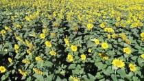 YALÇıN KAYA - 'Çiftçinin Yüzü Ayçiçeğiyle Gülecek'