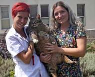 OBEZİTE - Obez Kediler Diyete Başladı